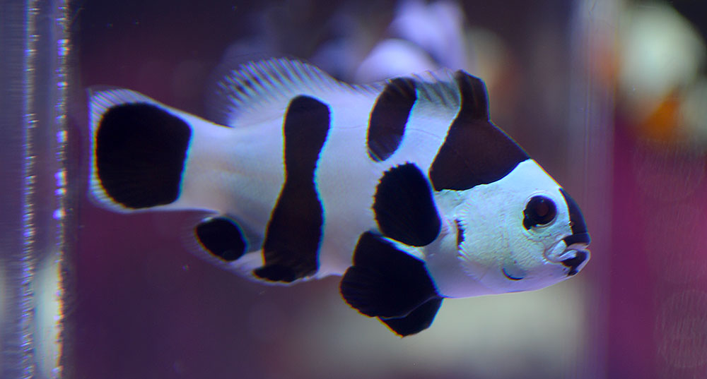 One of the Black Storm Clownfish on display at the New Orleans MACNA, August 2017. Image credit: Matt Pedersen.