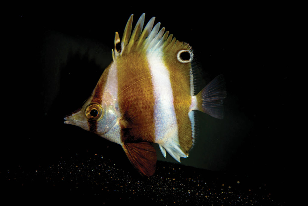 Roa rumsfeldi, the newest species of deepwater butterflyfish. Image credit: Dr. Luiz Rocha.