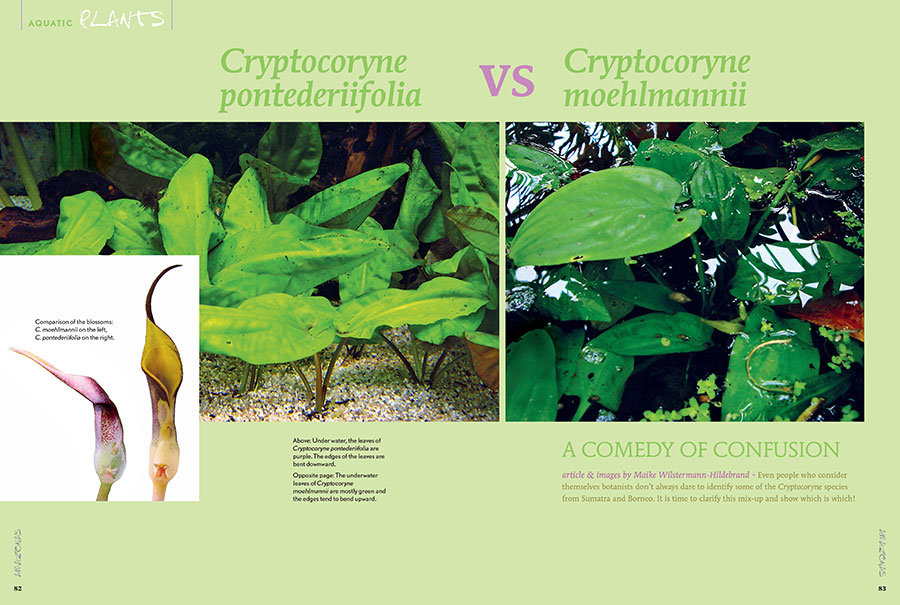 Maike Wilstermann-Hildebrand provides the tools you need to once and for all settle the differences between Cryptocoryne pontederiifolia and Cryptocoryne moehlmannii.