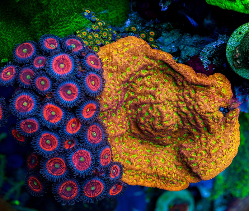 A beautiful combo; Jason Fox Everlasting Gobstopper Zoanthids at left, and Jason Fox Jack-o'-lantern Leptoseris at right.