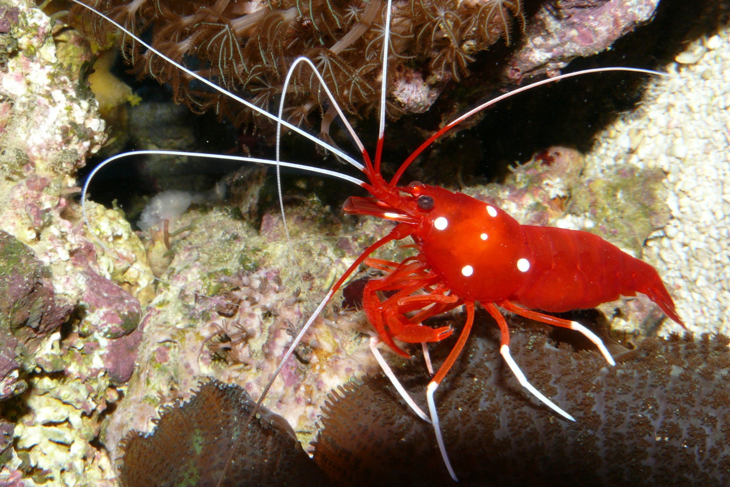 "The Blood Red Fire Shrimp, Lysmata debelius, by photographer ""Haplochromis"". GNU Free Documentation License"