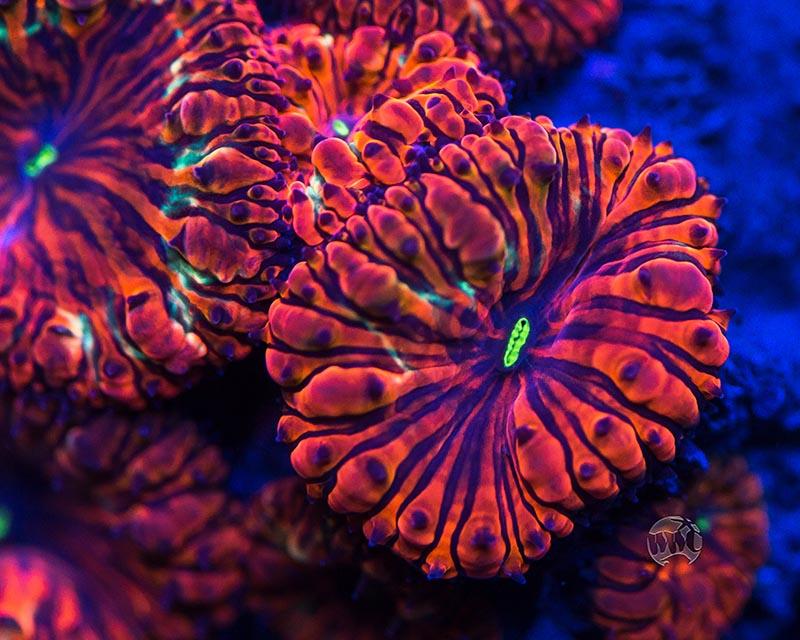 WWC Hellfire Blasto from World Wide Corals