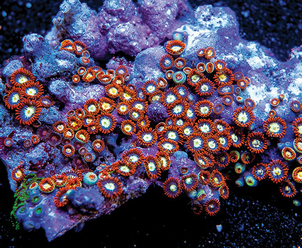 Zoanthids earn top marks for very small reefs.