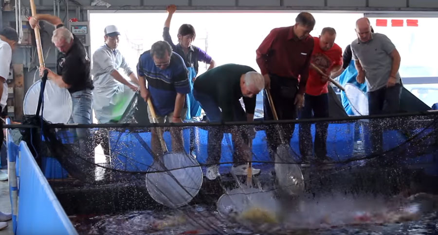 """Ogata Koi Farm's unique invitation-only purchasing processes creates a competitive atmosphere between the day's buyers. Says Walker, """"If you see a nice Koi, you need to net it quickly before another dealer nets it!"""""""