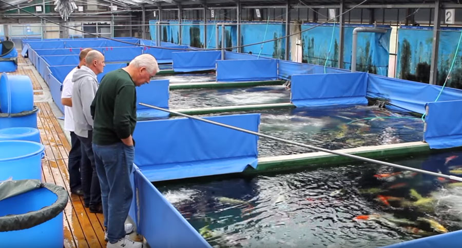 Walker inspects the koi holding ponds at Ogata Koi Farm, looking for special fish.