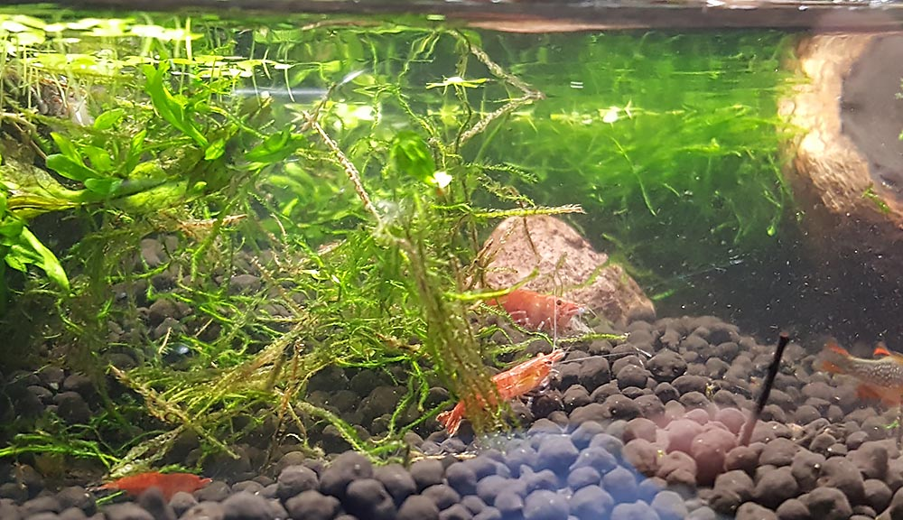 Cherry Shrimp, Neocaridina davidi, also occupy water feature.