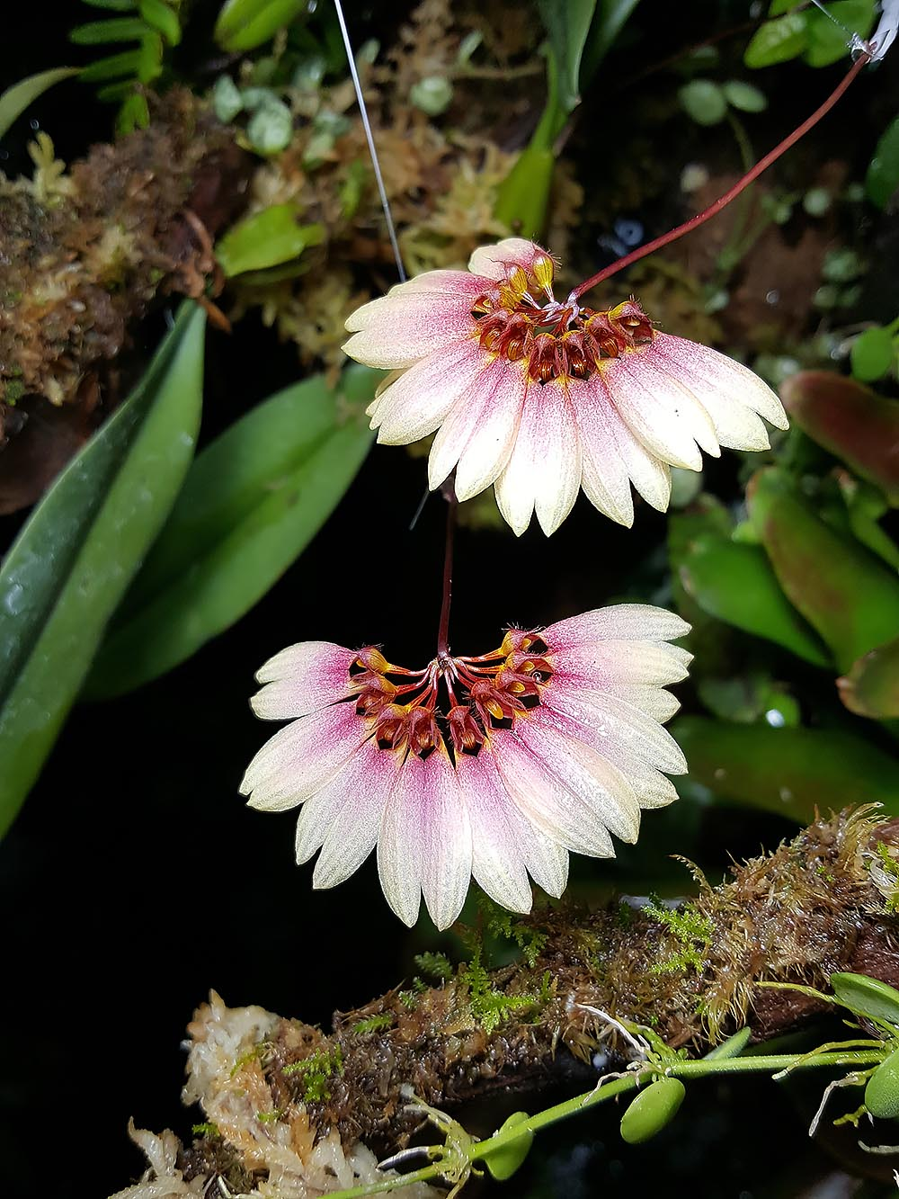 Bulbophyllum Daisy Chain, a primary hybrid between the species B. makyoanum x B. cummingii.