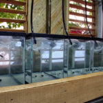 Breeding pairs of E. lori collected from the reef are being acclimated to aquaria in the lab.
