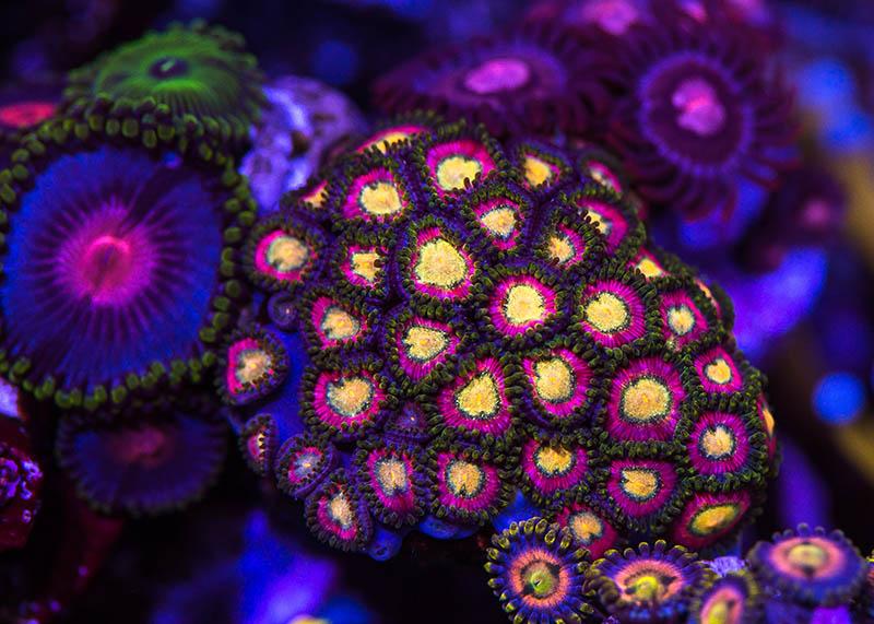 Pixie Dust Zoanthids, from World Wide Corals