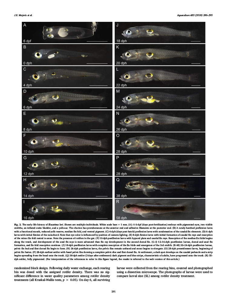 """Click here to download a PDF of the freely-accessible paper, """"Reproduction, early development, and larval rearing strategies for two sponge-dwelling neon gobies, Elacatinus lori and E. colini"""""""