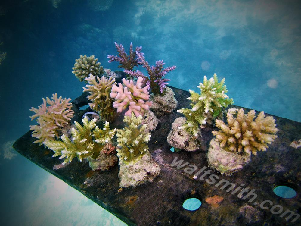 Maricultured Fijian corals are a staple offering of Walt Smith International, a flagship of the sustainable aquarium trade now in jeopardy following a surprising ban announced through social media.