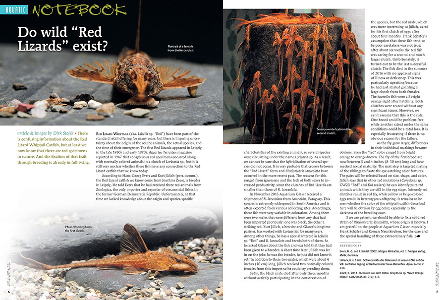 In this issue's AQUATIC NOTEBOOK: Investigating the origins of the Red Lizard Whiptail Catfish, saving a native killifish, a homemade snail & shrimp trap, attending England's Coryvention, and new Rhinogobius species.