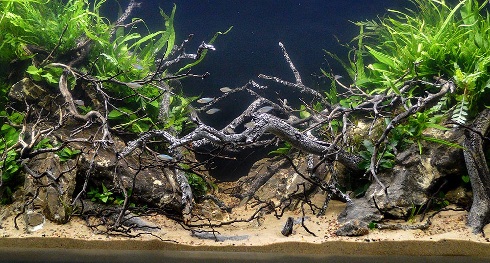 A gorgeous entry in the 2017 Aquascaping Live! large tank competition; this aquascape was created by Phil Kerewich and Jake Zucker.