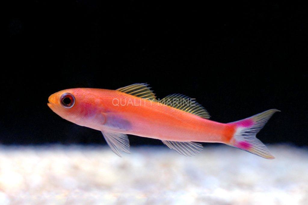 The Slender Seaver Anthias kicks of a list of 5 first-time Australian offerings at Los Angeles, CA, aquarium livestock distributor Quality Marine.