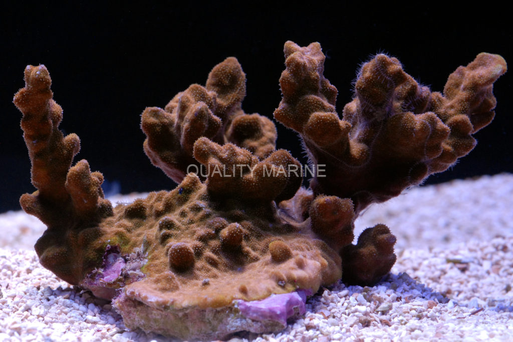 For the SPS lovers, this Australia Pillar Coral, Psammocora sp., adds a new growth form to your coral options.