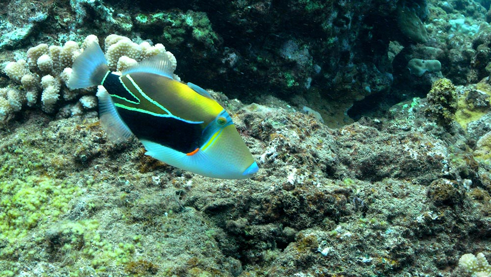 Think the looming threat of a permanent end to Hawaii's marine aquarium fishery just isn't cause for concern? PIJAC's VP of Government Affairs cautions complacent aquarists and urges them to consider the consequences of inaction.