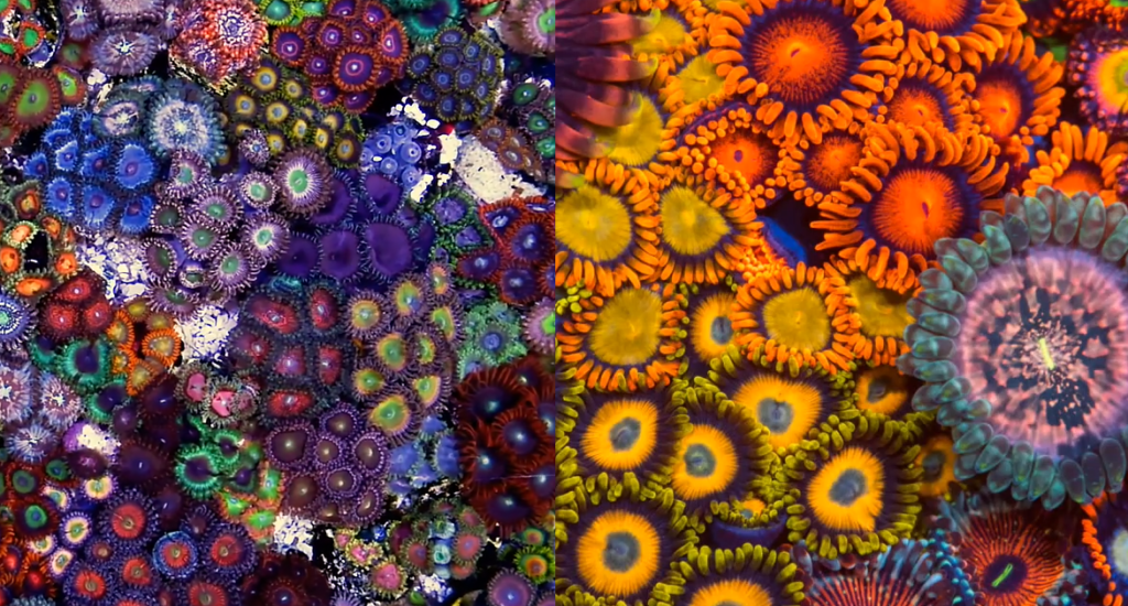 A mind-blowing Zoanthid Garden from Joshporksandwich Zoas.