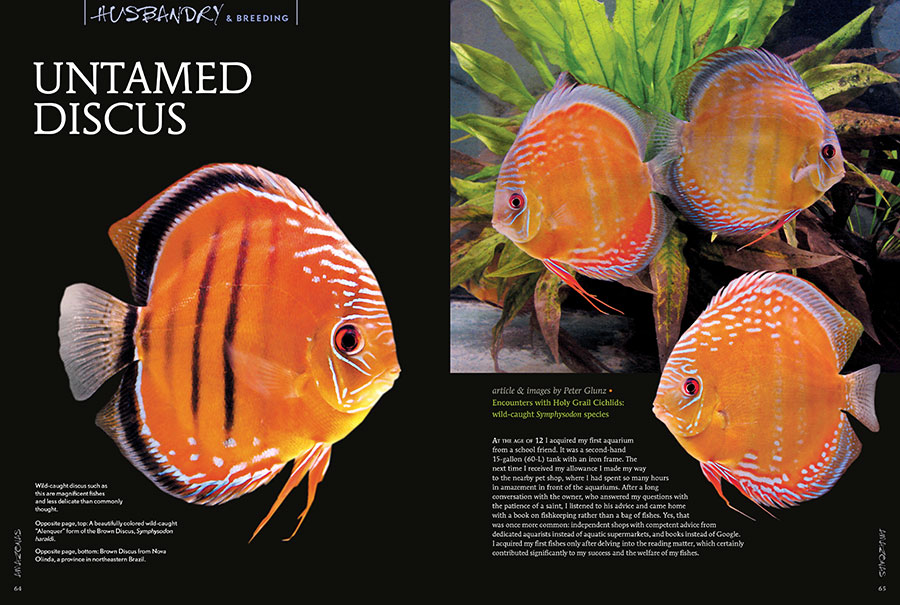In Untamed Discus, Peter Glunz encourages you to reexamine the presumed difficulty of keeping and breeding wild discus.