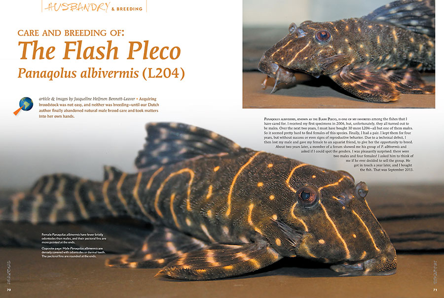 Acquiring broodstock of Panaqolus albivermis L204, the Flash Pleco, was not easy, and neither was breeding—until our Dutch author, Jacqueline Heijmen Bennett-Leaver, finally abandoned natural male brood care and took matters into her own hands.