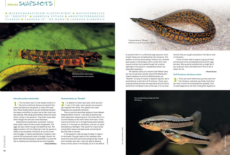 "AMAZONAS Magazine's must-read Species Snapshots reveal what's new, exciting, or flying below the radar in the freshwater aquarium trade. In this issue: a South American Micro-Darter (Microcharacidium eliotroides), an unidentified Spiney Eel from Malawai (Mastacembelus sp. ""Rosette""), Gulf Gambusia (Gambusia vittata), Marbled Knifefish (Adonosternachus clarkae), Da Nang Giant Danio, (Laubuka sp. ""Danag""), and Siamese Giant Danio (Laubuka siamensis)."