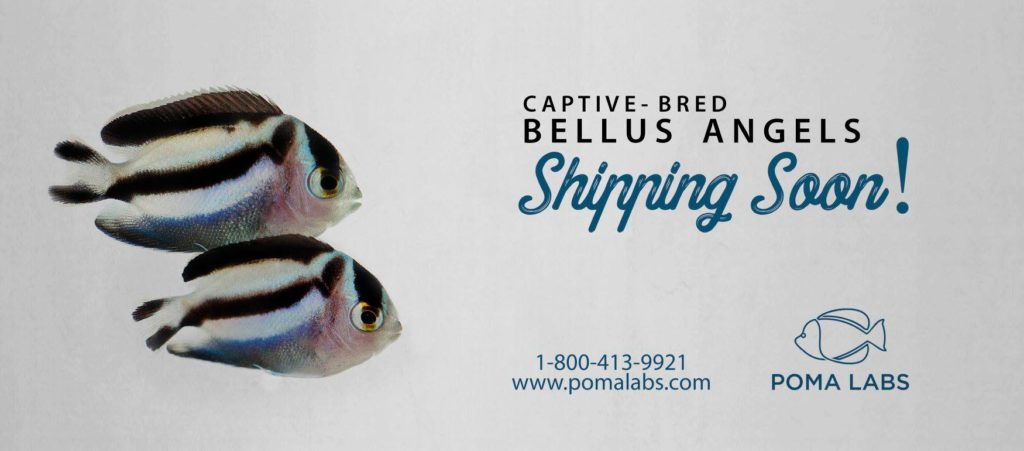 Bellus Angelfish, captive-bred and Poma Labs, shipping soon retail-direct to your door.