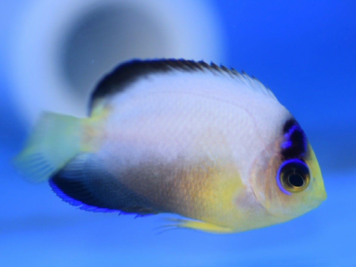 captive bred bellus angelfish have arrived