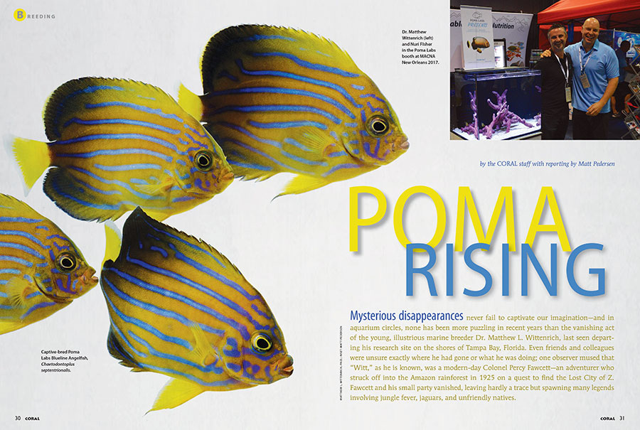 Their captive bred Conspicuous Angelfish stunned MACNA attendees in 2017: Dr. Matthew L. Wittenrich and Nuri Fisher of Poma Labs explain how they kept their project a secret for nearly half a decade, in the CORAL Magazine exclusive report, POMA RISING.