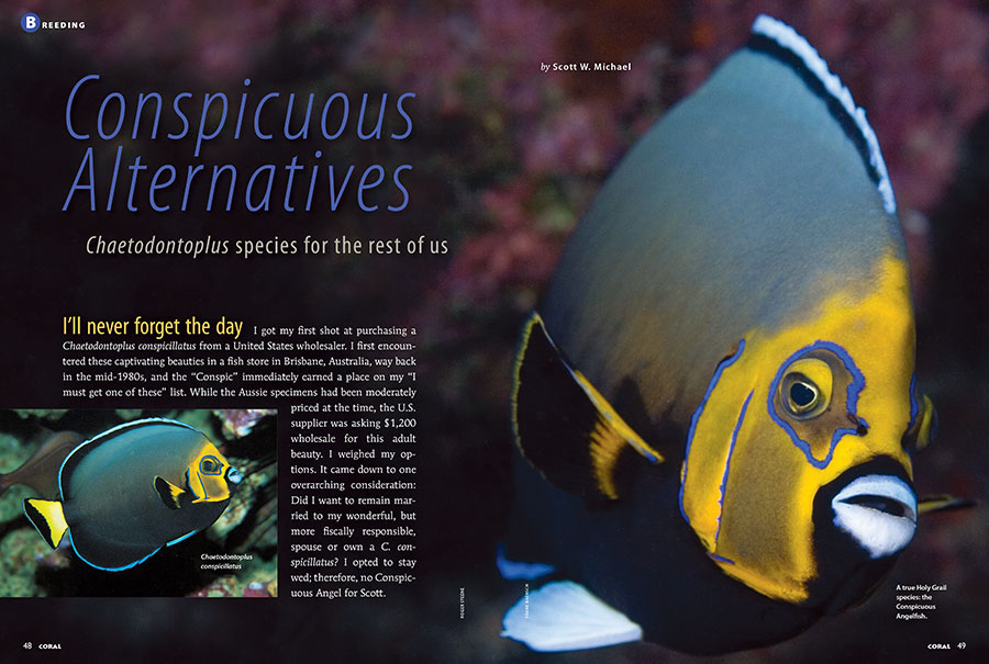 Not everyone can afford a Conspicuous Angelfish, captive-bred or otherwise. Thankfully, Scott W. Michael presents Chaetodontoplus for the rest of us in his latest contribution, Conspicuous Alternatives.