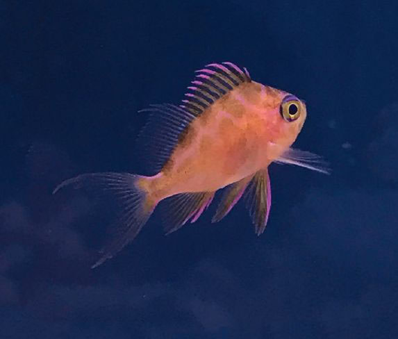 Odontanthias borbonius, Borbonius Anthias, a rare and expensive deepwater species brought into culture in the last year.