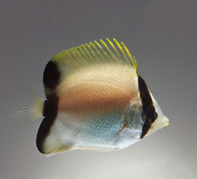 A Reef Butterflyfish, Chaetodon sedentarius, cultured for the first time by Rising Tide participants in Florida.