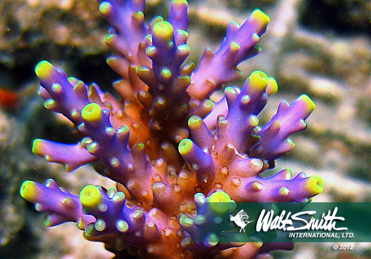 Farmed Acropora cerealis, one of many corals that Walt Smith International has been unable to export for over 2 months in the wake of surprise ban on the coral and live rock trade in Fiji. Image Credit: Walt Smith International