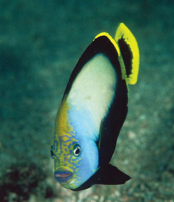 The Grey Poma or Black Velvet Angelfish, Chaetodontoplus melanosoma.