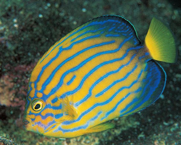 Chaetodontoplus septentrionalis, the Blueline Angelfish, was among the very first commercially-available captive-bred marine angelfish species.