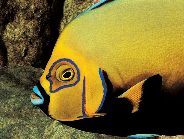 "Long considered one of the ""Holy Grail"" species in the aquarium trade, the Conspicuous Angelfish, Chaetodontoplus conspicillatus, demands financial wherewithal and years of aquarium experience."