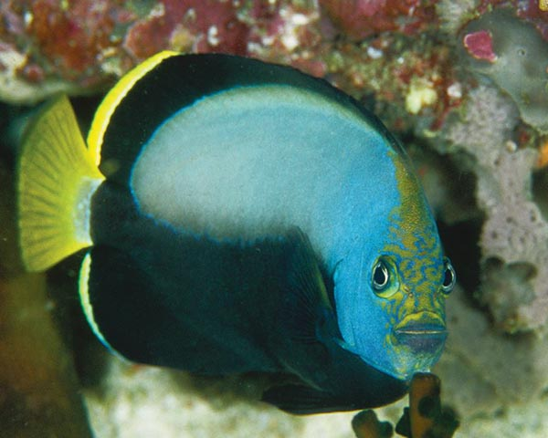 Chaetodontoplus dimidiatus, the Phantom Angelfish