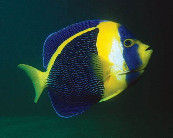 The Scribbled Angelfish, Chaetodontoplus duboulayi, here displaying horizontal striping, a male characteristic.