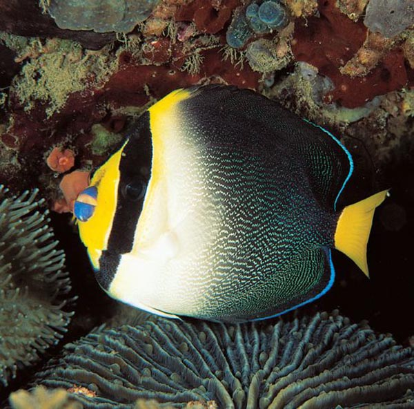 Chaetodontoplus mesoleucus, the Singapore Angelfish, one of the most frequently encountered species of the genus.