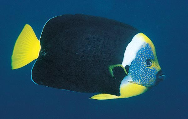 "Chaetodontoplus meredithi, often now traded as the ""False Personifer"" Angelfish"