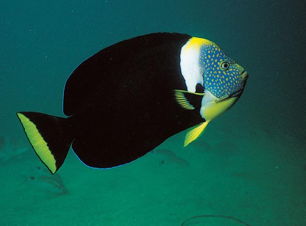"The similar, ""True"" Personifer Angelfish, Chaetodotonplus personifer."