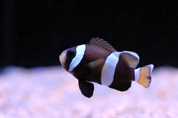 Wideband Clownfish, Amphiprion latezonatus, are a rarely-seen, challenging species to keep and breed. Fully-barred and captive-bred, these stunners are experiencing an exciting return commercial availability.
