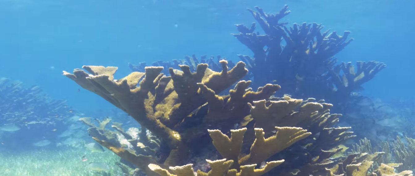 Endangered Elkhorn Coral, Acropora palmata, now a rare sight on Mexico's Caribbean coral reefs.