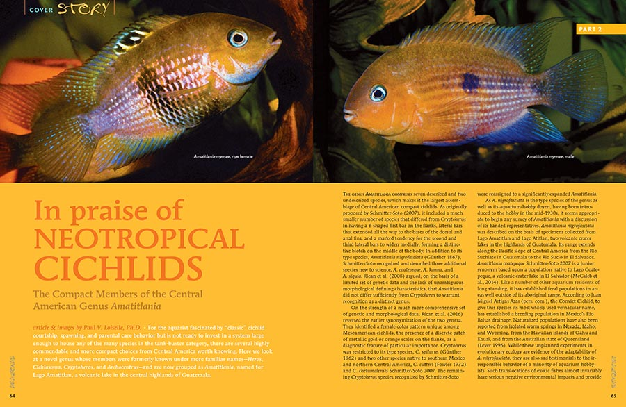 Neotropical Cichlids have, at times, received a bad rap. Dr. Paul V. Loiselle writes in praise of worthwhile compact cichlids in a novel genus, whose members were formerly known under more familiar names—Heros, Cichlasoma, Cryptoheros, and Archocentrus—and are now grouped as Amatitlania.