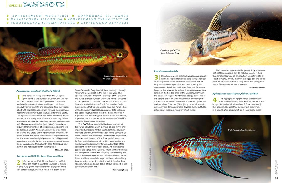 AMAZONAS Magazine's must-read Species Snapshots bring insight into the new, unusual, and under-appreciated in the aquarium hobby and trade. This issue's installment shines a bright spotlight on Killifishes. Our coverage includes Wachter's Killifish (Aphyosemion wachtersi), Maratecoara splendida, the Gabon Jewelfish (Aphyosemion cyanostictum), Poropanchax stigmatopygus, the Potosi Pupfish (Cyprinodon alvarezi), and for the catfish lovers, the Super Schwartzi Cory, (Corydoras sp. CW028).