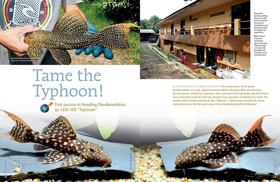 "Must-read insights for every pleco fanatic, Hans-Georg Evers and Jeffrey Christian report on the first success in breeding Pseudacanthicus sp. LDA 105 ""Typhoon""."