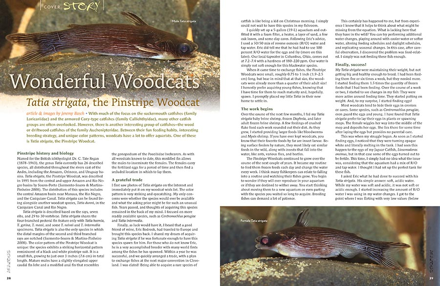 Jeremy Basch shares his struggles and triumphs with the beautiful and unique Pinstripe Woodcat, Tatia strigata.