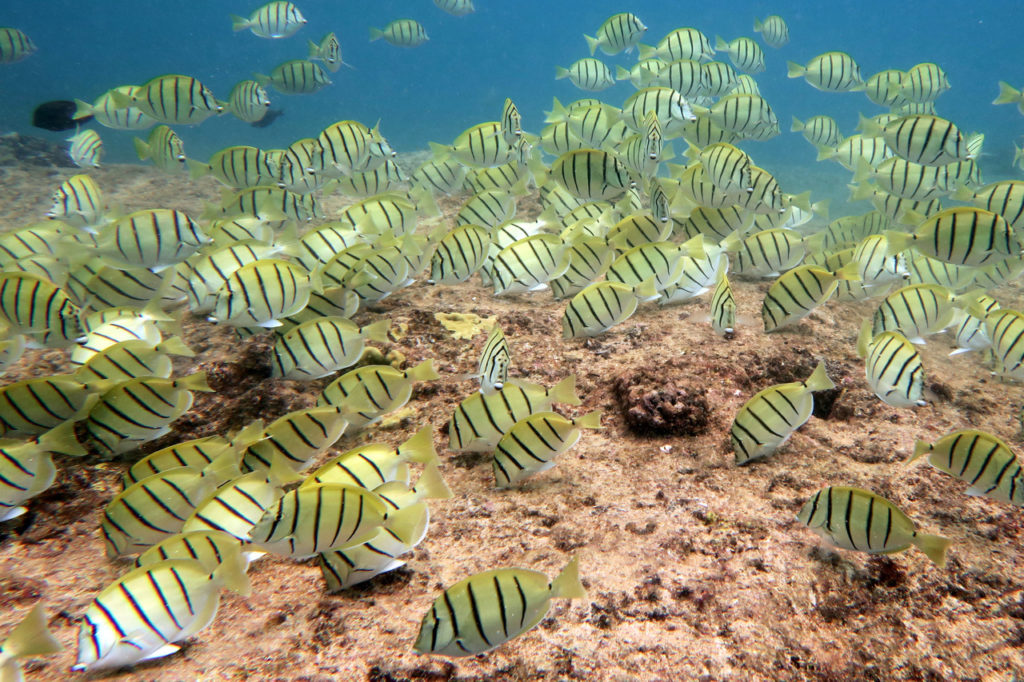 "School of convict tang or ""manini"" in Oahu, Hawaii (Photo: NOAA Fisheries/Andrew E. Gray)."