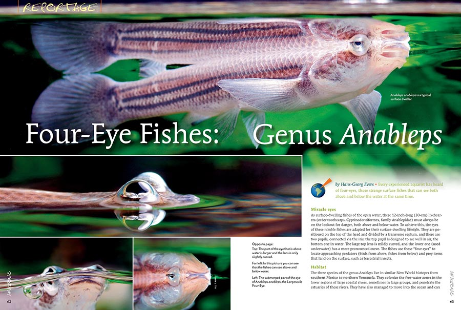 If you've never seen an Anableps, a fish which can see above and below water at the same time, you're in for a treat. If you have seen them, maybe you've wondered how they might fare in an aquarium. All is revealed as Hans-Georg Evers introduces you to the Four-Eye Fishes. Time to set up your next tank!