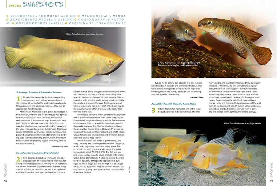 "AMAZONAS Magazine's must-read Species Snapshots illuminates everything new and gaudy, trendy or timeless, or simply overlooked and under-appreciated in the global aquarium trade. This issue's installment returns with a wide range of coverage, including a striking Albino Asian Arowana (Scleropages formosus) being put into cultivation, Africa's smallest known dwarf cichlid, the Congo Pygmy Cichlid (Nanochromis minor), the albino form of the Threadfin Acara (Acarichthys heckelii), two unqiue freshwater gobies from New Zealand, the Redfin Bully (Gobiomorphus huttoni) and Cran's Bully (Gobiomorphus basalis), and we close with a recent discovery that may represent a new species, the Orange Tail Bee Shrimp from Indonesia, Caridina sp. ""Orange Tail."" All of this exclusively in the newest issue of AMAZONAS Magazine."
