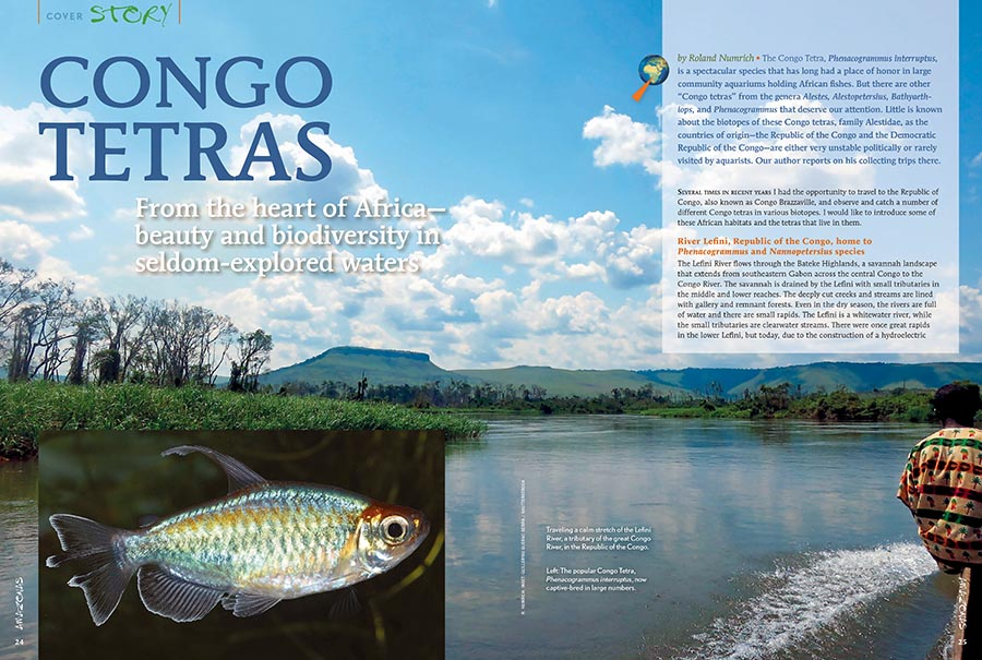 Little is known about the biotopes of the Congo tetras, family Alestidae, as the countries of origin—the Republic of the Congo and the Democratic Republic of the Congo—are either very unstable politically or rarely visited by aquarists. Roland Numrich reports on his collecting trips there.