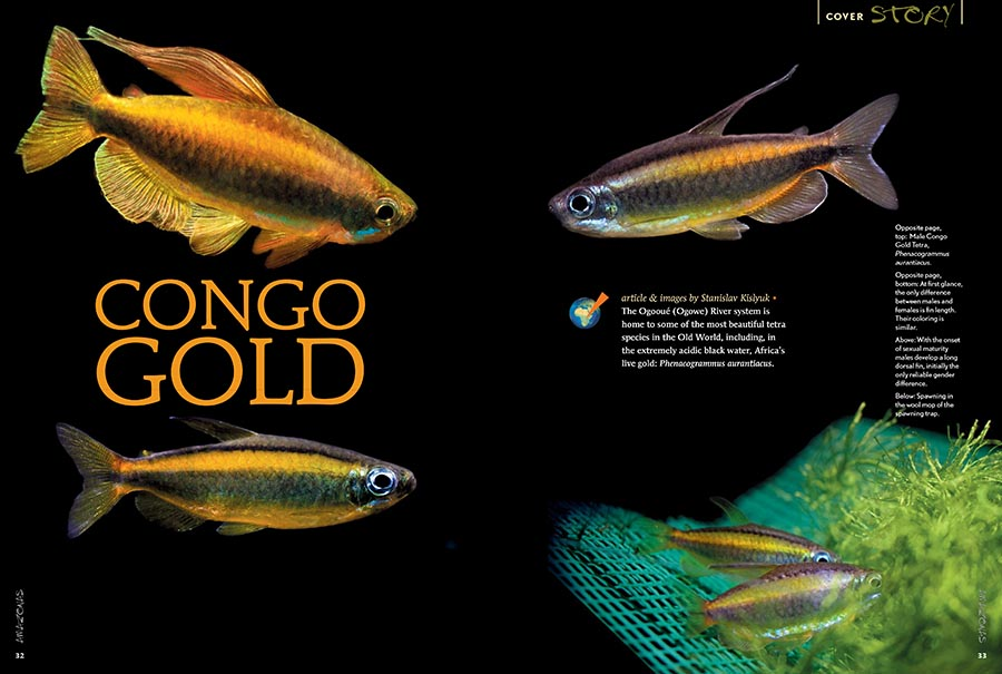 The Ogooué (Ogowe) River system is home to some of the most beautiful tetra species in the Old World, including, in the extremely acidic black water, Africa's live gold: Phenacogrammus aurantiacus. Stanislav Kislyuk shares his success keeping and breeding the species.
